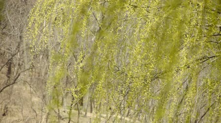 dal : Willow branches swaying in wind.
