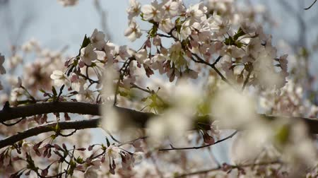 fragrância : beautiful cherry blossoms tremble in wind.