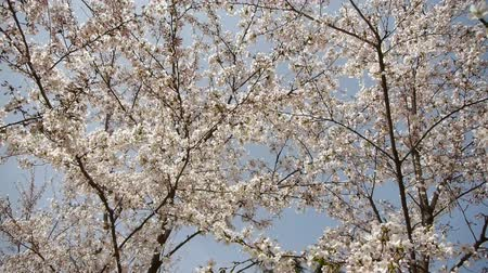 baldachin : beautiful cherry blossoms tremble in wind.