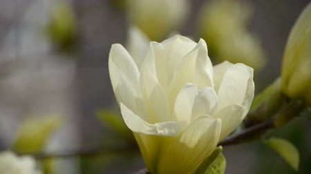 florista : Beautiful magnolia bloom in sunshine. Stock Footage