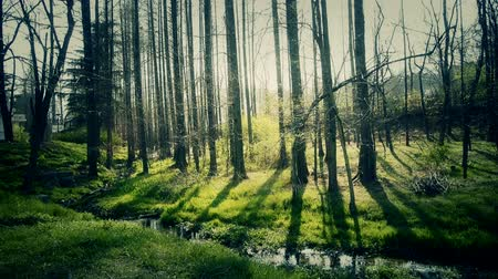 наслаждаться : Sunlight woods.Weeds by river,dense cedar dawn-redwood forest,woods,Jungle,shrubs,wetlands.