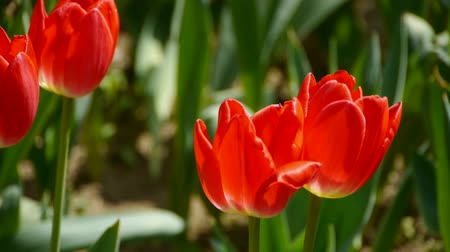 clipping path : Tulips in full bloom. Stock Footage