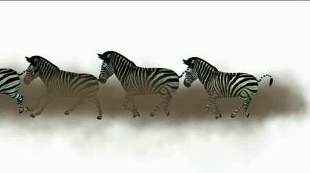 friesian : a group of zebra running with green screen.