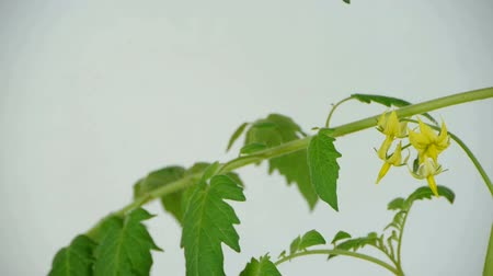 germinated : Lush tomato seedlings & flowers. Stock Footage