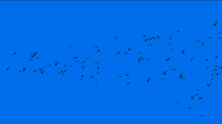 elementler : flock of pigeons birds fly over,migratory birds. Stok Video