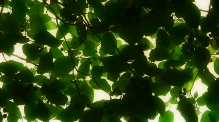 biloba : The dense branches foliage covered sky,sunlight through leaves.
