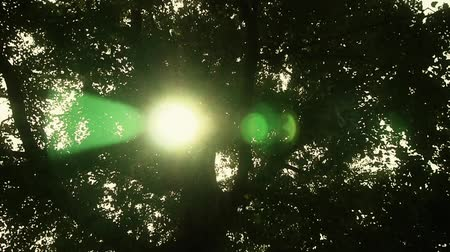 uzun boylu : Sunlight through branches of ginkgo tree trunk leaves. Stok Video