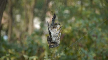gołąb : Bird trapped in net,struggling to die in green forest like fail loser.Shaking leaves of tree canopy in wind.destruction of ecological balance. Wideo