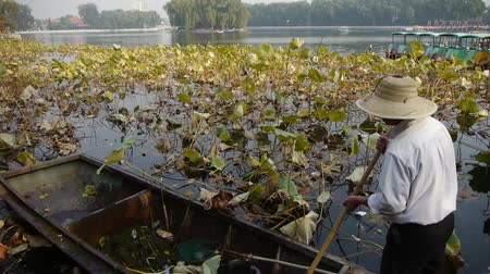 peking : Vast lotus pool,Fisherman on wooden boat clean lake in beijing.