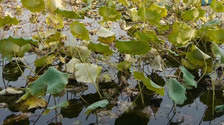 peking : Vast lotus leaf pool in autumn beijing.