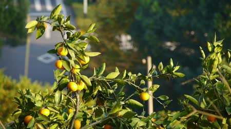 pomar : Oranges ripen on tree in grove on mountain background.