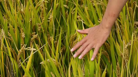 шелуха : Hand brushing over the heads of asian golden rice paddy in a field,wait for the harvest.