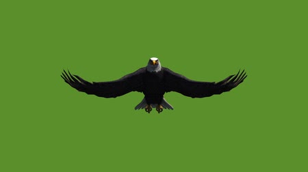 predatory bird : Eagle inciting wings flying in sky,haliaeetus leucocephalus bird animal.american freedom symbol.