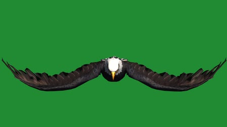 fészek : Eagle inciting wings flying in sky,haliaeetus leucocephalus bird animal.american freedom symbol.