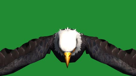 orel : Eagle inciting wings flying in sky,haliaeetus leucocephalus bird animal.american freedom symbol.