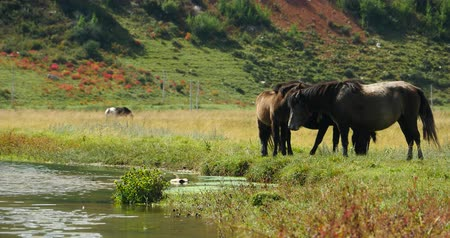 shangri la : Horse grazing on the grassland, Shangri-la Yunnan, China. Stock Footage