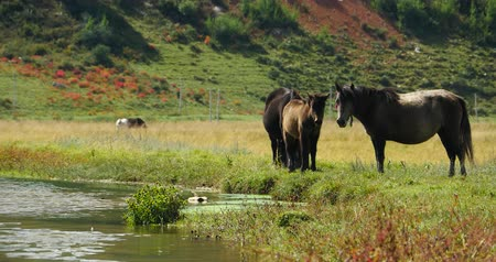 shangri la : 4k horses grazing on the grassland, Shangri-la Yunnan, China. Stock Footage