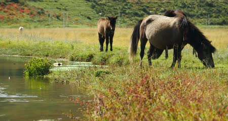 shangri la : 4k horses grazing on the grassland
