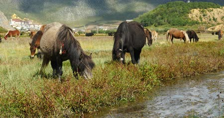 shangri la : 4k horses grazing in the meander river, clouds mass rolling over mountains, temple on the foot of hill.
