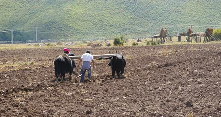 farmer animals : tibetan people use strong yak Arable land in shangrila yunnan,china.