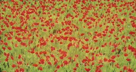 escarlate : red poppy  coquelicot in wind,natural scenery. Stock Footage