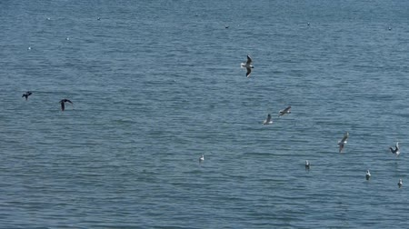 inseparable : seagull flying in sea. Stock Footage