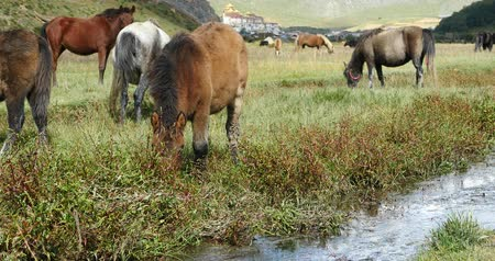 shangri la : horse grazing on the grassland,shangri-la yunnan,china.