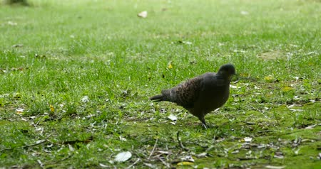 inseparable : Pigeon dangling branches on grass.