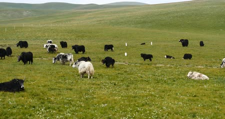 padok : a flock of yak on the Prairie,China plateau scenery.
