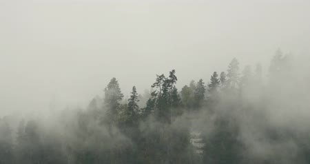 yosma : mountain mist rising in the morning,fog pine trees,such as wonderland.Bomi County in tibet,the largest precipitation area in China.