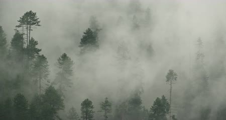 sabah : time lapse of mountain mist rising in the morning,fog pine trees,such as wonderland.Bomi County in tibet,the largest precipitation area in China.