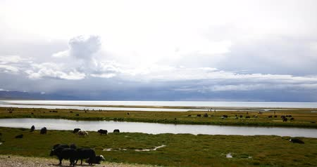 tramp : huge clouds mass rolling over lake namtso,tibet mansarovar,herdsman tent,a group of cow,Tibets second largest lake,is the third largest saltwater lake in China.Danggula(Tanggula) Mountains in xizang Plateau,roof of the World.