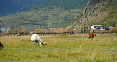 batı : 4k horse grazing on the grassland,shangri-la yunnan,china. Stok Video
