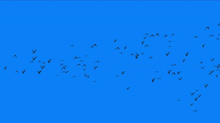 swan silhouette : 4k flock of pigeons birds fly over,migratory birds animal background.