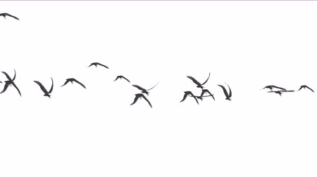 swan silhouette : 4k flock of pigeons birds fly over,migratory birds eagle animal background.