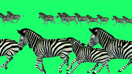 friesian : 4k Group zebras horses donkeys animals silhouette migration running,Africa grasslands nature background. Stock Footage