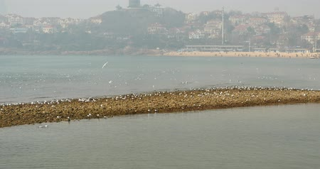 aves marinhas : 4k Flock of seagulls fly over ocean and beach in daytime,Perched on the beach,city background,QingDao china. Vídeos