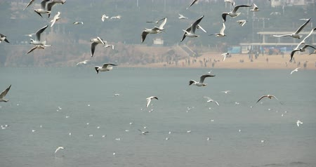 starling : 4k Flock of seagulls fly over ocean and beach in daytime,city background,QingDao china. Stock Footage