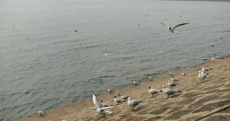 aves : 4k Flock of seagulls fly over ocean and shore in daytime. Stock Footage