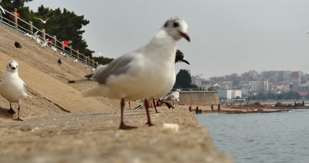 aves marinhas : China QingDao-Apr 15,2018:4k Flock of seagulls fly over ocean and beach in daytime,Tourists feeding seagull.