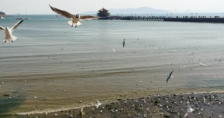 aves marinhas : 4k Flock of seagulls fly over ocean and beach in daytime,Perched on the beach,city background,Qingdao Trestle Bridge china.