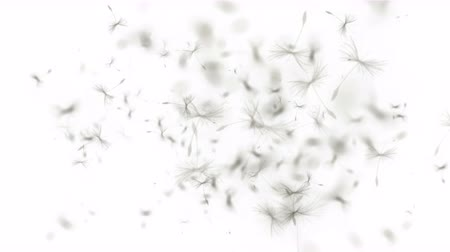 propagação : 4k Flying dandelion catkins particle background.
