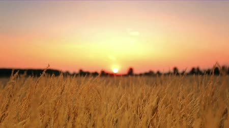pszenica : The wheat (cereal) field and sunset background, close up, wide angle view, RACK FOCUS. Shoot with Red Cinema Camera