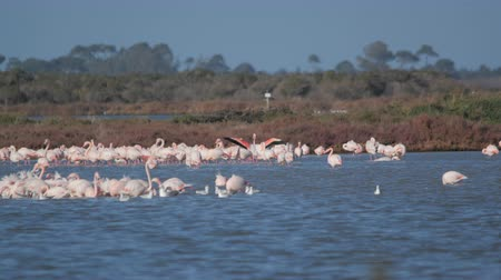 flamingi : the flamingos spread their wings on the lake