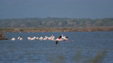 flamingi : flamingos arrive at the lake