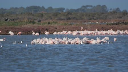 flamingi : a flock of flamingos on the lake