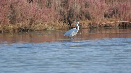 brodění : heron walks across the lake in search of food Dostupné videozáznamy