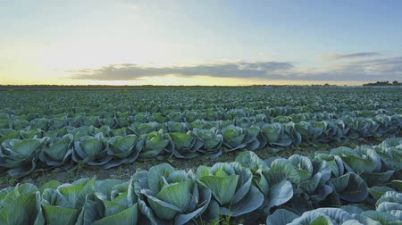 плодородный : Cabbage farm at sunset HDR time-lapse with dolly movement