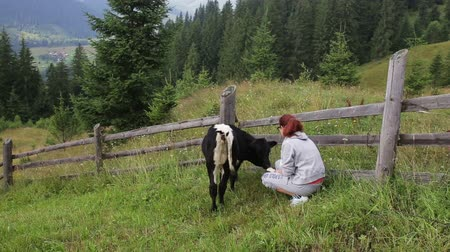 пастушка : The girl feeds the calf in the mountains Стоковые видеозаписи