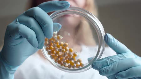 ученый : Laboratory assistant analyzes the corn seeds in a petri dish. Slow motion shoot.